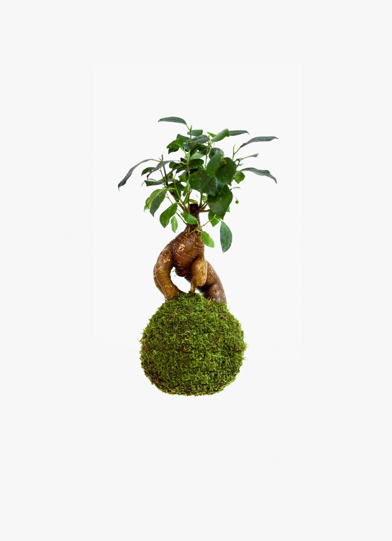 Petite Planete - Kokedama - Ginseng Ficus Bonsai
