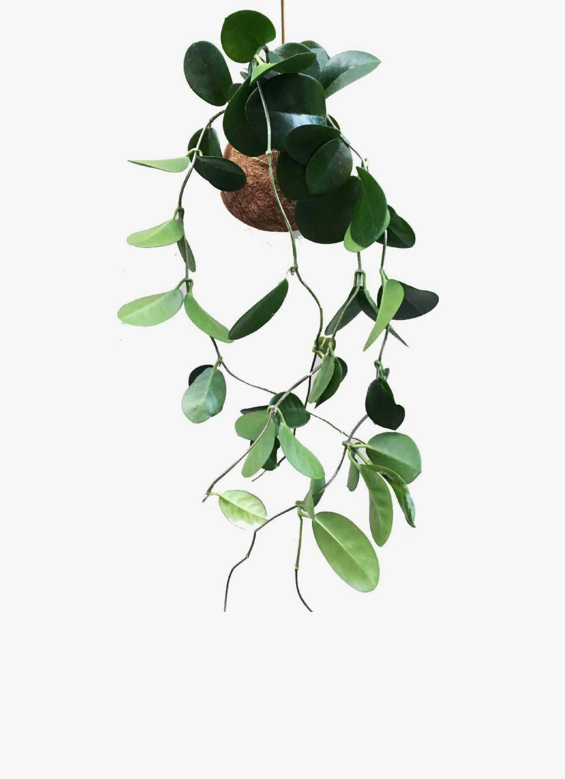 Kaja Skytte - Hoya Planteplanet